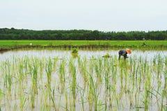 Riso crescente dell'agricoltore nel giacimento del riso, Tailandia Fotografia Stock Libera da Diritti