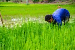 Riso crescente dell'agricoltore su terreno coltivabile Immagine Stock
