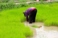 Riso crescente dell'agricoltore sul risone Fotografia Stock Libera da Diritti