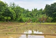 Riso crescente dell'agricoltore tailandese Fotografie Stock