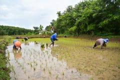 Riso crescente dell'agricoltore tailandese Immagini Stock Libere da Diritti