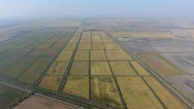 Riso crescente sui campi sommersi Riso maturo nel campo, l'inizio della raccolta Una veduta panoramica Fotografie Stock Libere da Diritti