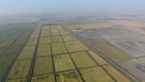 Riso crescente sui campi sommersi Riso maturo nel campo, l'inizio della raccolta Una veduta panoramica Immagini Stock Libere da Diritti