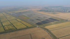 Riso crescente sui campi sommersi Riso maturo nel campo, l'inizio della raccolta Una veduta panoramica Fotografie Stock