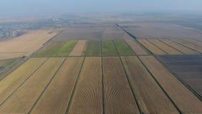 Riso crescente sui campi sommersi Riso maturo nel campo, l'inizio della raccolta Una veduta panoramica Immagine Stock Libera da Diritti