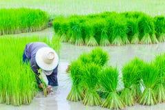 Riso degli agricoltori della Tailandia che pianta lavoro Immagini Stock Libere da Diritti