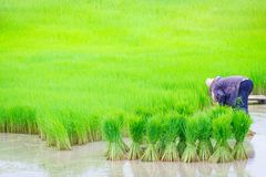 Riso degli agricoltori della Tailandia che pianta lavoro Fotografia Stock