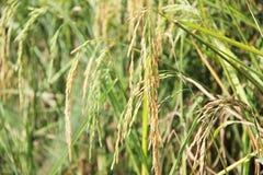 riso del gelsomino Fotografia Stock