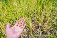 Riso del gelsomino dal campo sulla mano dell'agricoltore con il fondo della pianta di riso Semi del risone del grano sulla mano d Fotografia Stock