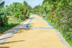 Riso del gelsomino del seme della risaia in all'aperto Gelsomino asciutto della risaia dell'agricoltore tailandese Immagine Stock