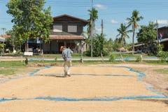Riso del gelsomino del seme della risaia in all'aperto Gelsomino asciutto della risaia dell'agricoltore tailandese Fotografie Stock Libere da Diritti