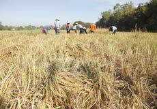 Riso del raccolto degli agricoltori nel campo Fotografia Stock