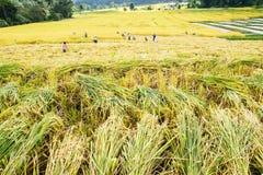Riso del raccolto degli agricoltori nelle risaie Fotografia Stock Libera da Diritti