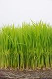riso del semenzale Fotografia Stock Libera da Diritti