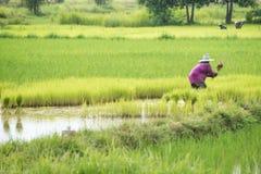 Riso del trapianto degli agricoltori in un campo in Tailandia Fotografia Stock