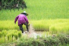 Riso del trapianto degli agricoltori in un campo in Tailandia Immagine Stock