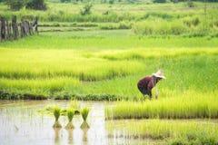 Riso del trapianto degli agricoltori in un campo in Tailandia Fotografie Stock