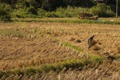 Riso dell'agricoltore che coltiva nella provincia Tailandia Sud-est asiatico di Maehongson Immagine Stock Libera da Diritti