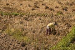 Riso dell'agricoltore che coltiva in Tailandia Immagine Stock Libera da Diritti