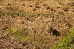 Riso dell'agricoltore che coltiva in Tailandia Fotografie Stock