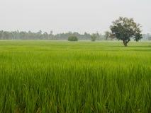 Riso dell'azienda agricola nella mattina Fotografia Stock