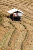 Riso dell'azienda agricola in Tailandia Immagini Stock Libere da Diritti