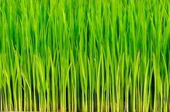 Riso dell'erba verde Fotografie Stock Libere da Diritti