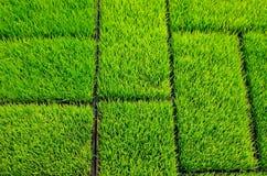 Riso dell'erba verde Immagini Stock