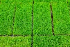 Riso dell'erba verde Fotografia Stock