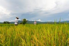 Riso della pianta degli agricoltori nel giacimento del riso Fotografia Stock