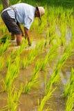 Riso della pianta degli agricoltori nel giacimento del riso Fotografia Stock Libera da Diritti