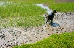 Riso della scrofa dell'agricoltore sulla risaia Fotografia Stock