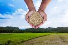 Riso della tenuta dell'agricoltore dell'uomo della mano sul campo Fotografia Stock Libera da Diritti