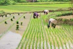Riso di crescita dell'agricoltore del Vietnam sul campo Fotografia Stock Libera da Diritti