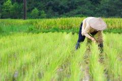 Riso di crescita dell'agricoltore del Vietnam sul campo Fotografie Stock