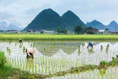 Riso di crescita dell'agricoltore del Vietnam sul campo Fotografia Stock
