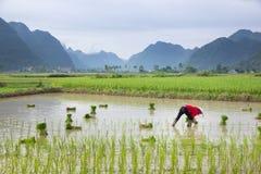 Riso di crescita dell'agricoltore del Vietnam sul campo Immagine Stock