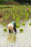 Riso di crescita dell'agricoltore del Vietnam sul campo Immagini Stock Libere da Diritti