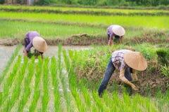 Riso di crescita dell'agricoltore del Vietnam sul campo Fotografie Stock Libere da Diritti