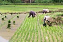 Riso di crescita dell'agricoltore del Vietnam sul campo Immagine Stock Libera da Diritti