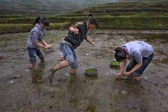 Riso di piantatura occupato della ragazza teenager asiatica tre nella risaia Fotografie Stock Libere da Diritti