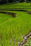 Riso di punto che coltiva agricoltura della piantagione Immagine Stock