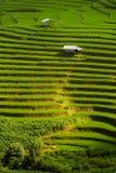 Riso di punto che coltiva agricoltura della piantagione Immagini Stock