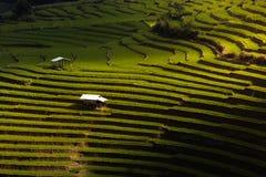 Riso di punto che coltiva piantagione Fotografie Stock