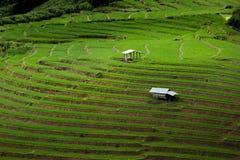 Riso di punto che coltiva piantagione Immagini Stock Libere da Diritti