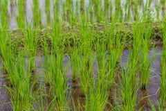 Riso di punto che coltiva piantagione Immagine Stock Libera da Diritti