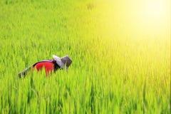 Riso di raccolto del raccolto dell'agricoltore tailandese Fotografia Stock