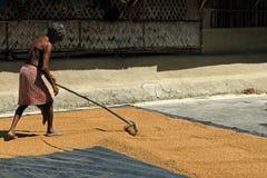 riso di secchezza Fotografia Stock