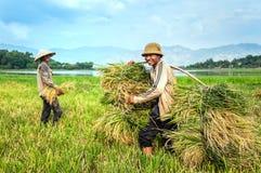 Riso di trasporto dell'agricoltore Immagine Stock Libera da Diritti