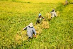 Riso di trasporto dell'agricoltore Fotografia Stock